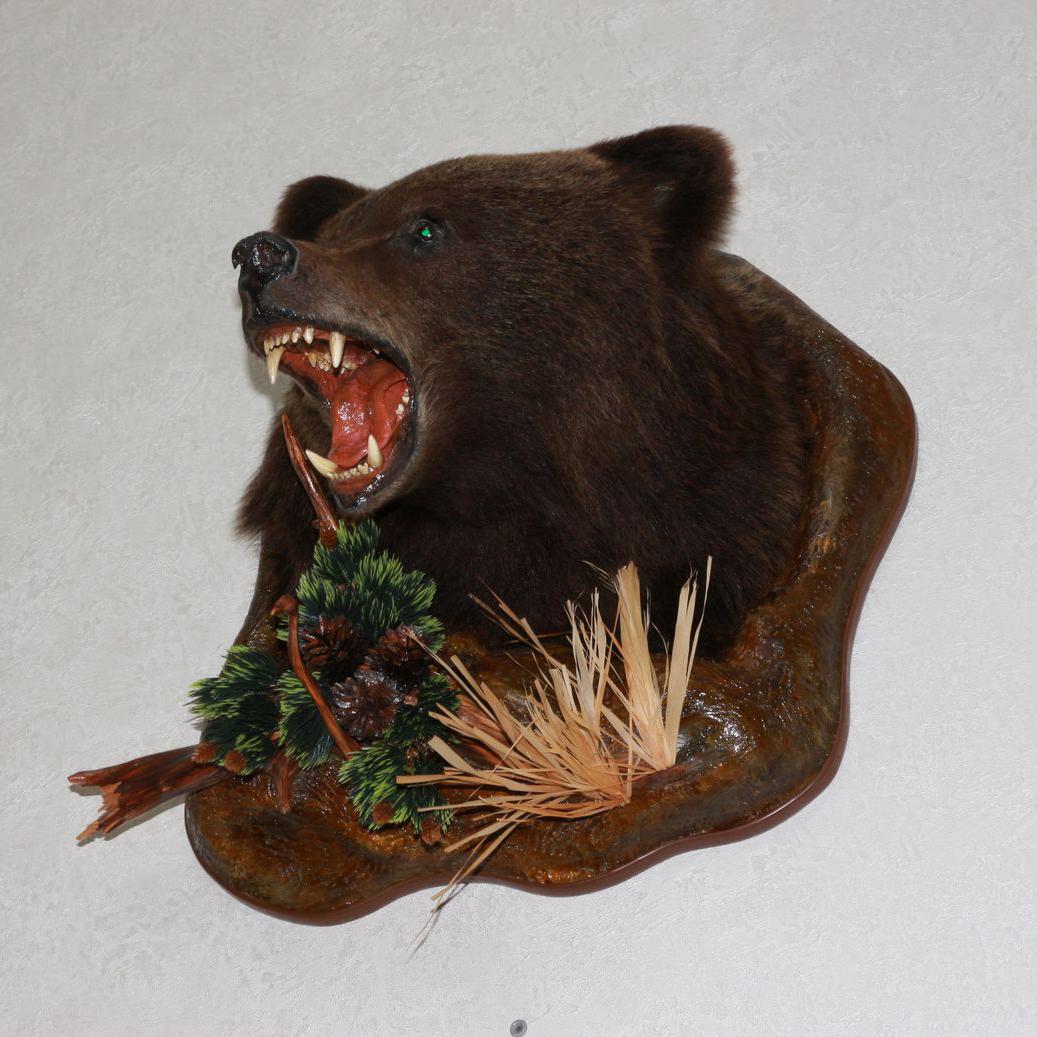 Siberian Brown Bear Taxidermy Head Shoulder Mount