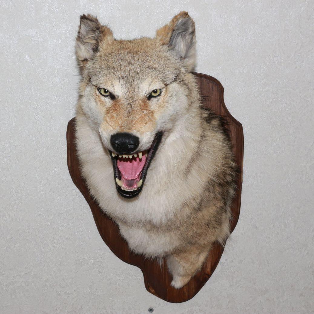 Siberian Gray Wolf Taxidermy Head Shoulder Mount Grey