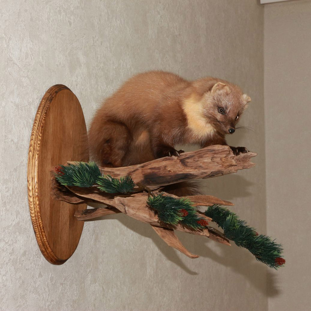Pine Marten Taxidermy Mount Fisher Mounted Stuffed Animals For
