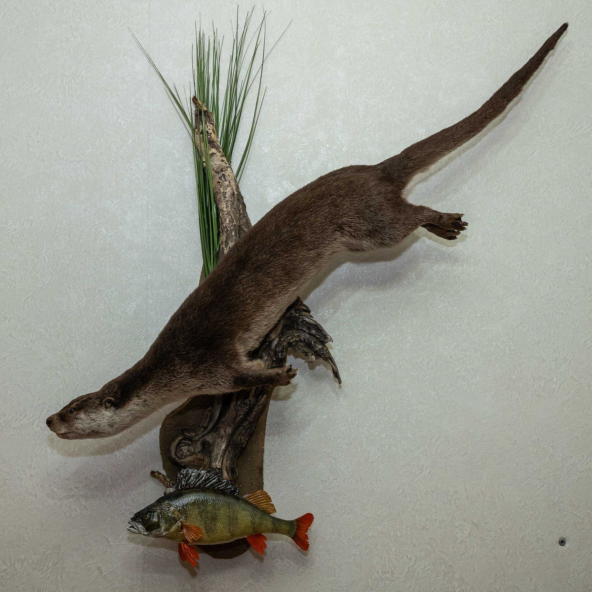 RIVER OTTER WITH FISH - TAXIDERMY LIFE-SIZE MOUNT - ST4768