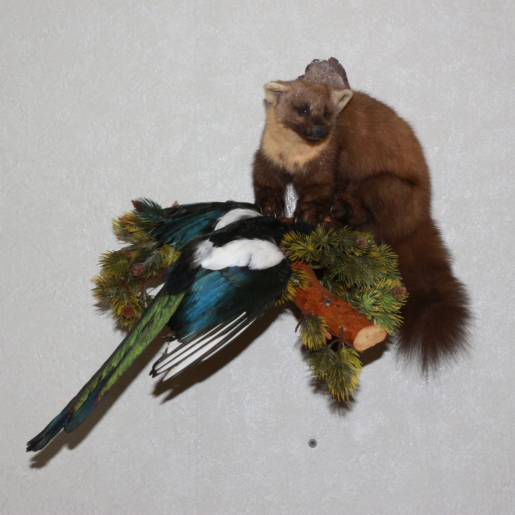 Pine Marten With Magpie Taxidermy Mount Stuffed Animal For Sale