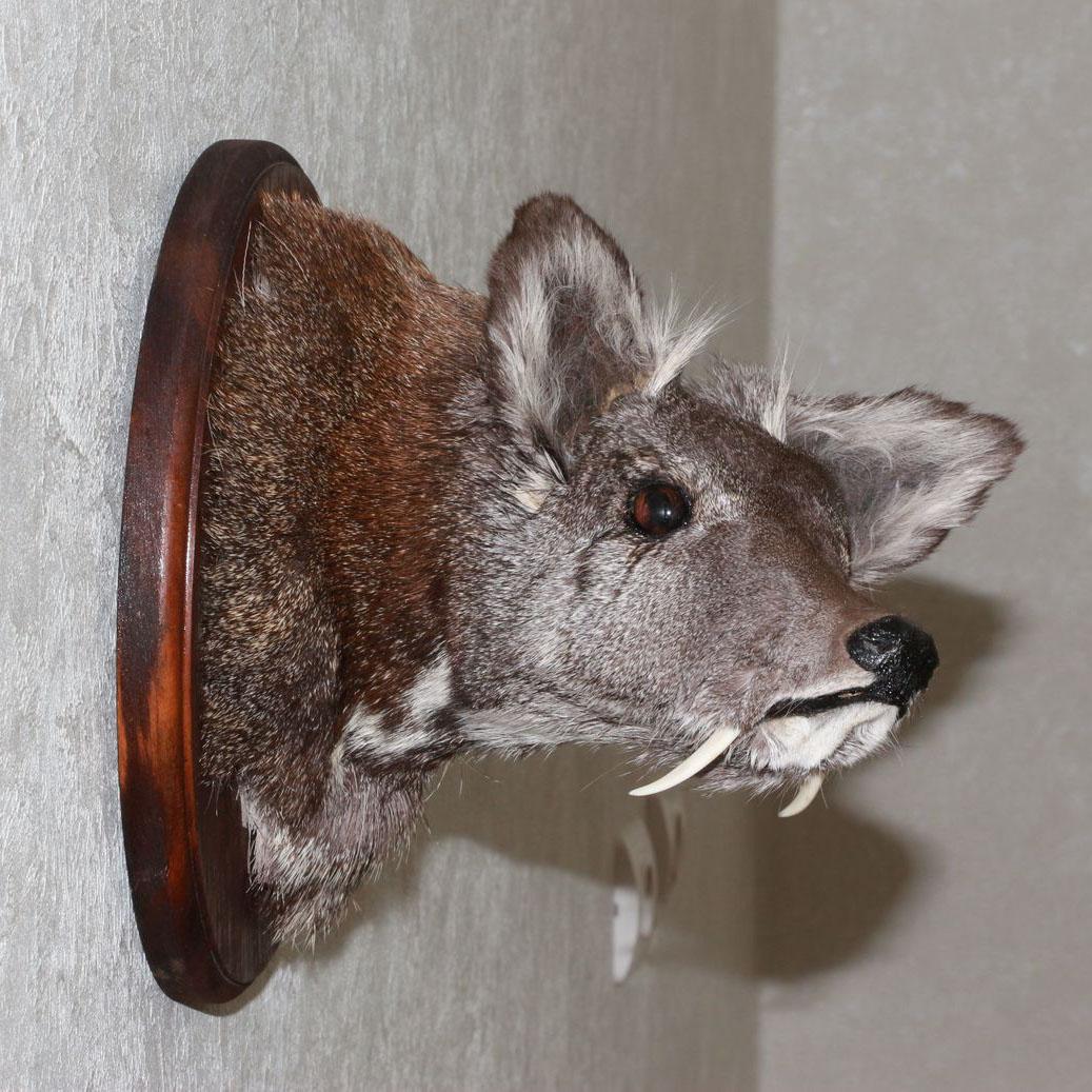 Siberian Musk Deer Taxidermy Head Shoulder Mount Stuffed Animal